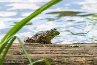 American Bullfrog ©