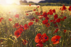 The gift of light... (Kerriemeister) Tags: light dog shallowdepthoffield poppies red blur flowers blooms field crops harvest cereal wild topaz