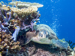 brianleungphotography-61 (brianleung5895) Tags: tortoise fish reef seaworld sea diving ilovetravel photoofday photooftheday photographer travel travelphotography wonderful wonderfulworld moalboal cebu philippines momentwithbrian epl3 olympus hkig