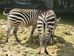 Burchell's zebra - Equus quagga burchellii (Linda DV) Tags: lindadevolder belgium pairidaiza animalpark nature 2017 geotagged canonpowershotsx40hs equusquaggaburchellii burchellszebra equidae zebra ribbet