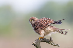 Young Kestrel again (eric-d at gmx.net) Tags: falcotinnunculus kestrel turmfalke falcon falke eric ngc ericdgmxnet naturepicturede birdofprey