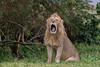 Wet Sunday Mornings (Hector16) Tags: africa outdoors tanzania wildlife entamanu ngorongorocrater safari arusharegion tz ngc npc ngorongoro highlands ngorongorohighlands gettyimages