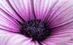 Cape Daisy (Simple_Sight) Tags: garden flower green outdoors nature closeup pink blossom cape daisy ngc