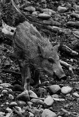 Shoan (wolf4max) Tags: animal nature wildboar shoan boar forest