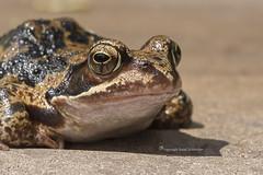 Kermit (Ruud.) Tags: ruudschreuder nikon nikond810 d810 40mm 40mmf28 macro makro bruine kikker common frog rasfrosch grenouille rousse rana temporaria amfibie perspective kikkerperspektief frogperspective