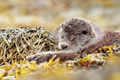 Let Sleeping Otters Lie (birdtracker) Tags: otters sleeping seaweed mull scotland nature wildlife