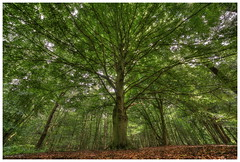 Tree of life (Smarron) Tags: beek montferland tree boom beuk bos forest peeske nikon d750 samyang 14mm t31 nature natuur samyang14mmf28edasifumc ed as if umc samyang14mmt31iivdslr