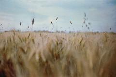 (Benedetta Falugi) Tags: wheat film filmisnotdead photography fuji superia field green analog analogue nature lightleaks lightleak shootingfilm istillshootfilm ishootfilm beliveinfilm falugi sky om1 olympus benedetafalugi