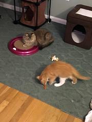 iPhone 3964 (mary2678) Tags: tewksbury massachusetts ma kitty kitten cat maine coon chele kvothe