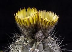 Eriosyce vertongenii (clement_peiffer) Tags: d7100 105mm cactaceae succulent peiffer clement nikon cactus fleurs flower spines epines kaktusi кактуси flowerscolors eriosyce vertongenii yellow jaune