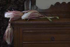 Cereus Aftermath (ruthlesscrab) Tags: cereus nightblooming epiphyllumoxypetalum