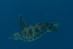 Green Turtle_Something Special_June 2017 C2 (R13X) Tags: bonaire underwaterphotography underwatermacrophotography scubadiving diving denlaman dutchcaribbean dutchislands shorediving nikon nikon105mm nikon60mm d7200 greenturtle turtle barireef somethingspecial saltpier torisreef