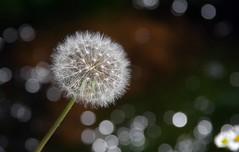 Make a wish and blow (Frank S (aka Knarfs1)) Tags: pusteblume löwenzahn blume blüte flower fleur summer sommer white weiss samen dandelion