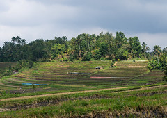 The terraced rice fields, Bali island, Jatiluwih, Indonesia (Eric Lafforgue) Tags: agricultural agriculture asia asian bali1965 balinese bedugul breathtaking countryside crops cultivated cultivation culture farming farmland fields green growing horizontal indonesia irrigation landscape nature nopeople outdoors paddies palmtrees rice ricefields ricepaddies riceterraces rural scenery subak terracefarming terraced terraces terracing unescoworldheritagesite verdant jatiluwih baliisland