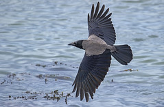 Grey backed or Hooded Crow - I'm more spectacular that you think! (Ann and Chris) Tags: avian amazing awesome canon nature birdwatching birdphotography beak birding cute corvid coast flying feathers gliding wildlife norway scandinavia outdoors stunning hooded crow