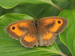 Gatekeeper (Pyronia tithonus) (Rezamink) Tags: gatekeeper pyroniatithonus butterflies uk