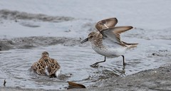 2U7A1430 (rpealit) Tags: scenery wildlife nature edwin b forsythe national refuge brigantine dunlin bird
