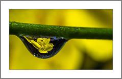 Viele Tropfen in einem Tropfen (Many drops in one drop) (alfred.hausberger) Tags: tropfen blüte reflektion wassertropfen