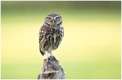 Little owl - Steenuil (Athene noctua) (Martha de Jong-Lantink) Tags: 2017 athenenoctua belgië fotohut fotohutglennvermeerschkalmthout glennvermeersch kalmthout littleowl steenuil steenuiltje steenuiltjes vogelhut4