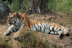 Syberian tiger (K.Verhulst) Tags: syberiantiger siberischetijger tigers tijgers cats beeksebergen safariparkbeeksebergen hilvarenbeek tilburg