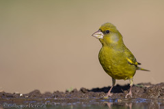 Carduelis chloris (LdrGilberto) Tags: verdilhão comum greenfinch carduelis chloris bird ave nature natureza wild free hide apúlia carduelischloris chlorischloris europeangreenfinch