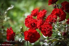 Red roses, Rosa 'Nina Weibull' (Hans Olofsson) Tags: blommor flower garden natur nature rosor skammelstorp sommar trädgård roses rosa ninaweibull röd red coulor color rouge