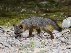 Santa Cruz Island fox, Urocyon littoralis santacruzae (bruce_aird) Tags: