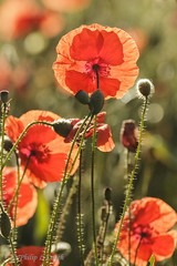 Cookley poppies 4 (Philip Lench) Tags: poppies kidderminster worcestershire