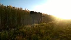 WP_20170705_05_43_30_Pro Summer Sunburst (Jo. Jo.) Tags: sunburst labrador black wheat arable land vanishing point