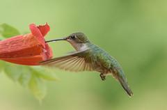 Ruby-throat Hummingbird (snooker2009) Tags: bird hummer hummingbird nature wildlife pennsylvania summer spring flight
