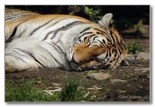 1E1A9583-DL   Tigre / Tiger.