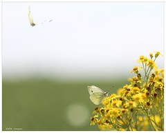 Flying.In (chtimageur) Tags: butterfly macro flower landscape nature bokeh insect handheld papillons flying great beauty yellow canon 6d 85 18