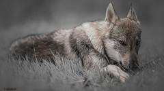๖ۣۜHunter (Pilouchy) Tags: hunter wolf story histoire eyes yeux chemin regard montagne prairie foret lumiere color couleur legend life vie friend reve dream loup conte wood