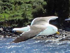 Come Fly With Me (studogs30) Tags: greaterblackbackedgull flam sognefjord norway pocruises msazura azura