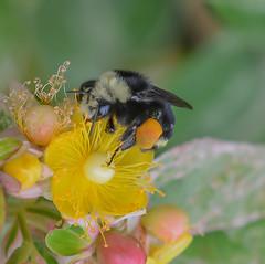 Heavy Load. (Omygodtom) Tags: insect existinglight elitebugs bright flower flickr bumblebee world zoo bnw hiking nature nikkor nikon natural d7100 dof tamron90mm tamron macro bokeh yellow red
