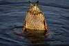Bottoms up (stevehimages) Tags: steve stevehimages steveh higgins wowzers warden wildlife bird grandpas den 2017 animal nature feathers feathered friend west midlands