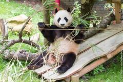 IMG_0436.jpg (wfvanvalkenburg) Tags: ouwehandsdierenpark panda familie