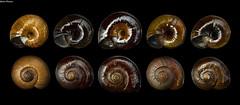 Powelliphanta shells (GaboUruguay) Tags: collection blackbackground landsnail shiny natural fauna newzealand terrestre traversi gilliesi hochstetteri aurea consobrina powelliphanta paryphanta snail caracol concha shell background