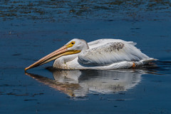 Reflection of a Hungry Pelican (MelRoseJ) Tags: sanrafael california unitedstates a77ii alpha autofocus sonyalpha sal70400g sony sonyilca77m2 nature birds whitepelican pelican lasgallinas
