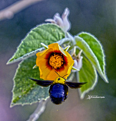 Early One Morning (haidarism (Ahmed Alhaidari)) Tags: animal bug insect bee flower plant leaf morning bokeh outdoor nature ngc macro macrophotography sonya65 sigma105mm depthoffield