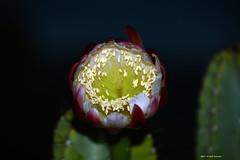 Cereus Peruvianus h 21.07 (Paolo Bonassin) Tags: cactaceae cactacee cactus succulente cereus cereusperuvianus flowers