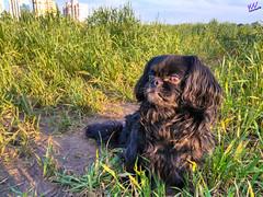 Зверушки 0389 (2016.05.21) (vladsky78) Tags: ильичёвск животные зелень поле собака