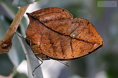 Malaysischer Blattschmetterling (ab-planepictures) Tags: schmetterlingsgarten sayn malaysischer blattschmetterling schmetterling butterfly tier animal