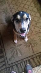 Max waiting for some bacon lol #huskymix #dogs #pitbullmix (hairwegomonat) Tags: dogs pitbullmix huskymix
