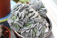 Crassula Morgan's beauty (S.Mt) Tags: succulentes succulents plantes grasses cactus fleurs flower echeveria aeonium oscularia rebutia grapto nature plants