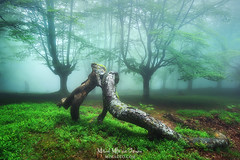 Love story (Mimadeo) Tags: forest fog trees kiss love lovers couple hazy foggy leaf misty mist branch nature haze landscape leaves trunk light mystery mysterious fantasy fairy magic ethereal magical mystical moss gorbea kissing spring springtime wedding marriage