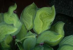 Plant Life (ski 9) Tags: green hostas peekaboo fanciful chimera