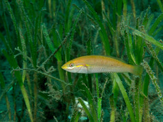 Wrasse in the Grasse (PacificKlaus) Tags: philippines negros negrosoriental dauin scuba diving ocean underwater animal fish wrasse seagrass