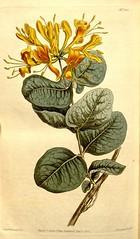 Anglų lietuvių žodynas. Žodis lonicera flava reiškia <li>lonicera flava</li> lietuviškai.
