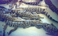 Piled sleepers (Arne Kuilman) Tags: philippines filipijnen holiday analogue slidefilm slide dia vakantie canon as1 kodak e200 e6 palawan tropical 1200dpi epson v600 scan island crocodilefarm crocodiles